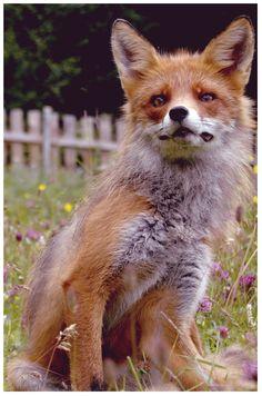 A fox in Norway, Rondane Amphibians, Mammals, Reptiles, Animals Are Beautiful People, Funny Animals, Cute Animals, Fantastic Fox, Fox Spirit, Fox Pictures
