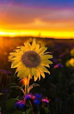 You are my only sun shine Sunflower Garden, Sunflower Art, Sunflower Fields, Sunflower Pictures, Flower Phone Wallpaper, Sunflower Wallpaper, Happy Flowers, Jolie Photo, Phone Backgrounds