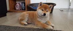 15 Facts That Prove Shiba Inus Are The Greatest Dogs Shiba Inu, Shiba Puppy, R Dogs, Cute Cats And Dogs, Doggies, What Dogs, Puppy Mills, Cute Bears, Dog Training