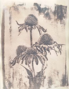 Cone Flowers - Cyanotype toned with tea.