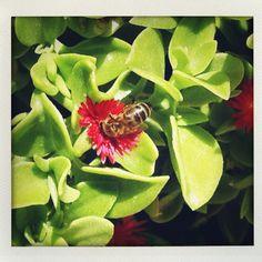 Bee in Marrakech