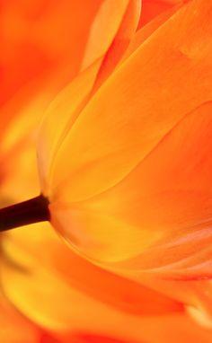 Tulip detail by Sue Hsu