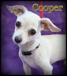 Cooper is an adoptable Italian Greyhound Dog in San Pedro, CA. Meet Cooper. Cooper is a male, approx 11 week old pup. presumed to be a possible Italian greyhound/chihuahua mix. He weighs 3-4 lbs thus ...