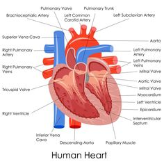 Labeled Pictures Of The Human Heart . Labeled Pictures Of The Human Heart Heart Diagram Labeled Vector Illustration Of Diagram Of Human Natural Blood Pressure, Blood Pressure Symptoms, Increase Blood Pressure, Normal Blood Pressure, Blood Pressure Remedies, Human Heart Diagram, Human Body Diagram, Cardiac Anatomy, Health