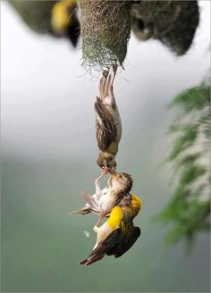 A Baby Bird Being Saved ~ After Falling From The Nest ~ By BOTH Parent Birds.