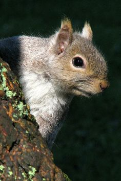 Little Gray Squirrel