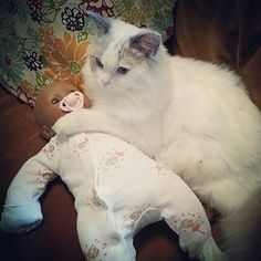 So apparently this is what Pierre does while I am out. Babysitting.  The. Perfect. Cat. #crazycatboy #ragdoll #ragdollcat #catsofinstagram #cats #pets #petsofinstagram #instapets