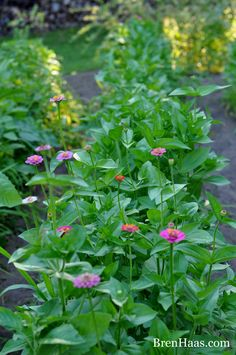 zinnias in the garden I grew from seed.