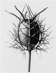 Nigella Damascena Spinnenkopf – Karl Blossfeldt black and white fine art photography. Karl Blossfeldt, Fotografia Macro, Foto Art, Natural Forms, Botanical Art, Botanical Drawings, Double Exposure, Macro Photography, Vintage Photography
