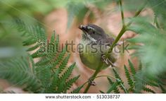 White browed Scrubwren (Sericornis frontalis) has big worm in his mouth. Nature blur background, Australia