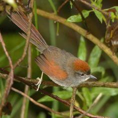 Azara's spinetail is a species of bird in the Furnariidae family, named after Spanish naturalist Félix de Azara. Argentina,Bolivia,Colombia,Ecuador &Peru