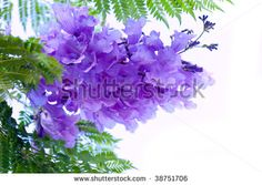 Google Image Result for http://image.shutterstock.com/display_pic_with_logo/160432/160432,1255403855,1/stock-photo-jacaranda-flower-tree-isolated-on-white-background-38751706.jpg