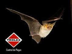 El peligro oculto en las heces o guano de murciélago  Los murciélagos son comúnmente asociados como vectores  de rabia, pero un peligro menos conocido, es que son portadores de la histoplasmosis, esta enfermedad se puede contraer al estar en contacto con guano o heces de murciélago, contaminado.
