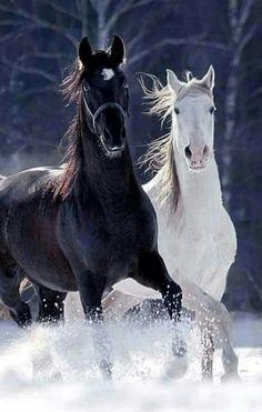 Gyönyörű fekete és fehér színű lovak..