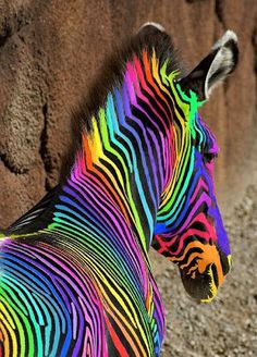 This is a rainbow horse. I mean this is a rainbow zebra. I like any type of zebra. Including this one. Do you see the colors on his face? The blue on his coat is dark blue. Rainbow Zebra, Love Rainbow, Taste The Rainbow, Over The Rainbow, Rainbow Things, Rainbow Stuff, Rainbow Sherbet, Rainbow Nails, Rainbow Dash