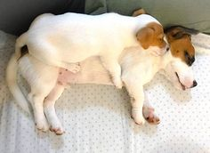 Mother and puppy Jack Russells!