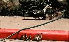 It's not hard to be helpful…good job man!  A guy helps out these wee ducks, cute gif.