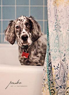 English Setter Pup ~ Classic Look & Trim