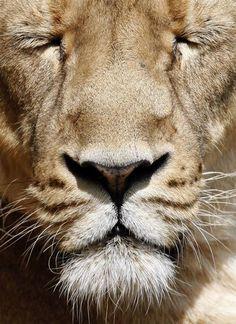Meditating Lion.....