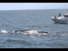 - ballenas jorobadas en Ecuador http://youtu.be/739uZnp7PPU