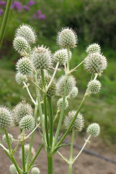 Eryngium-yuccifolium-IR-web.jpg 1280×1920 pixels