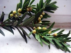 Yew: Taxus baccata (Poison, for homeopathic preparations only)