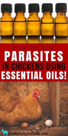 How To Kill Parasites In Chickens Using Essential Oils! Essential Oils Recipes, Essential Oils On The Homestead, Homestead Help For Beginners, Raising Chickens, Natural Chicken Care Portable Chicken Coop, Best Chicken Coop, Backyard Chicken Coops, Building A Chicken Coop, Raising Backyard Chickens, Keeping Chickens, Keeping Goats, Urban Chickens, Pet Chickens