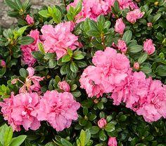 Azalea Bloom-A-Thon® Pink Double - White Flower Farm