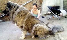 A Caucasian Ovcharka dwarfs its owner