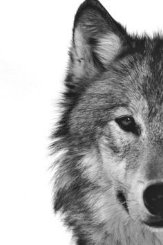 black and white photos of a wolf - Google Search