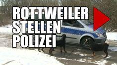 Eigentlich sollten diese drei Rottweiler das Gelnde einer Gerstbaufirma in Rostock bewachen: http://videonachrichten.tv/alle-meldungen/video/watch/hunde-halten-polizei-in-schach.html
