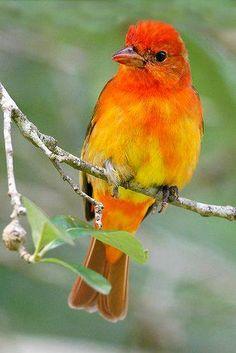 O Sanhaçu-vermelho (Piranga rubra), é uma ave canora média americana. Anteriormente colocado na família (Emberizidae), ele e outros membros de seu gênero agora classificam-se da família cardinal (Emberizidae). Das espécies plumagem e vocalizações são semelhantes aos outros membros da família do Cardeal.