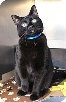 Chicago, IL - Domestic Shorthair. Meet Oliver, a cat for adoption. http://www.adoptapet.com/pet/13138613-chicago-illinois-cat