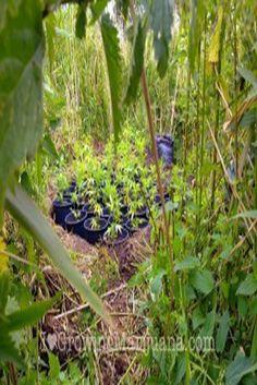 Growing marijuana at the riverbank