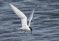 https://flic.kr/p/VdBAzY | Common Tern Hunting on the wing (for shrimps). | Keyhaven Nature reserve, New Forest, Hants.