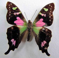 Graphium Weiskei - Papua, New Guinea -- Love the pink in it's wings! Pinned by Western Sage and KB Honey (aka Kidd Bros) Butterfly Kisses, Butterfly Flowers, Butterfly Wings, Green Butterfly, Beautiful Bugs, Beautiful Butterflies, Beautiful Creatures, Animals Beautiful, Moth Caterpillar