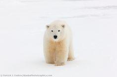 Young polar bear cub in the snow on a barrier Island, arctic, Alaska. | AlaskaPhotoGraphics.com |