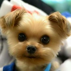 Oh, this one's a Charmer! ~ Adorable Little Fluffy Baby Puppy - Aww, I want!