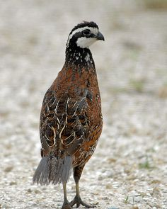 Bobwhite Quail (Colinus virginianus) - Photo by Frank Schufelt. Use to be popular for hunters in the 70's & earlier but quail populations have been in continual decline that it's a rare bird to find these days. (NC- use to be plentiful in Surry County)