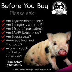 Before you buy a mini pig