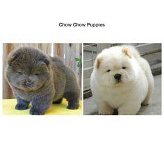 Cool Teddy Bear Chubby Adorable Dog - 493214153e5b1d7691b09de7f4a7ff9c--baby-animals-funny-animals  Collection_766535  .jpg