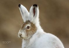 Arctic Hare by David Merron on 500px