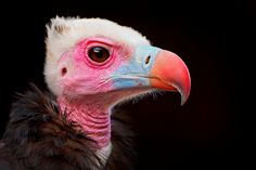 Portrait of a colorful vulture by Tambako the Jaguar, via Flickr