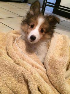 Reddit meet our doghter Piper! #aww #cute #cutecats #dinkydogs #animalsofpinterest #cuddle #fluffy #animals #pets #bestfriend #boopthesnoot