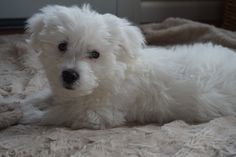 Westie Mix, adorable cute puppy!