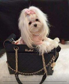 This Maltese puppy is up on her grooming with a silky white coat while riding in a purse.