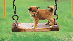 Cute dog on a swing!