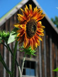Okay, now let's go with a country flower.  For tonight and Sunday, we will do SUNFLOWERS.