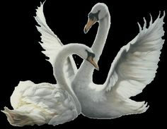 animated swans | , Swan Pictures, Beautiful Swans, Swan, charming Swans, Animated ...