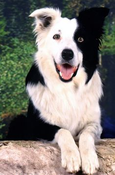 Border Collies Rock! Love the coloring, So pretty!